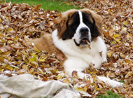 成年圣伯纳犬秋天树林写真图片