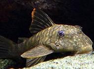清道夫鱼品种丑萌图片