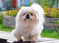纯种京巴犬可爱狗狗抓拍图片
