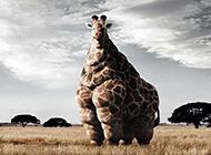 爆笑肥长颈鹿图片笑死人不偿命