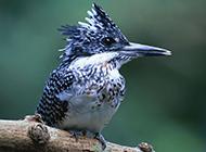 北方啄木鸟可爱超萌图片