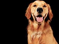 表情友善的成年母金毛寻回犬图片