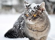 雪地玩耍的英短猫咪图片壁纸