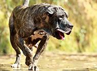 西班牙加纳利犬凶猛动物高清壁纸
