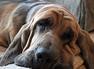 寻血猎犬慵懒忧郁图片