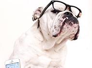 白色胖胖的可爱斗牛犬图片
