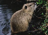 海狸鼠水中避暑图片大全