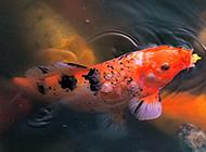 水池畅游的花锦鲤图片