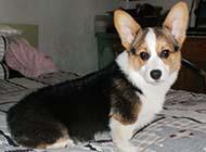 威尔士柯基犬可爱眼神图片