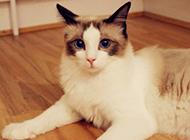 最美的纯种布偶猫图片大全