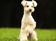 草地奔跑的白色巨型贵宾犬图片