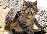 美国银虎斑猫搞笑坐姿图片