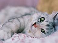 纯种挪威森林猫懒洋洋图片