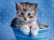 可爱茶杯猫蓝色背景图片大全