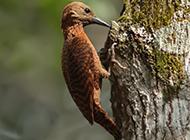 森林益鸟啄木鸟捉虫图片