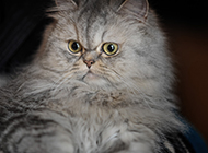 表情惊讶逗趣的金吉拉猫图片