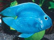 蓝鹦鹉鱼图片漂亮迷人