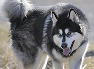 漂亮的狗狗野外雪橇犬图