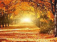 阳光下的枫树林风景图片