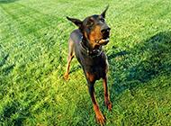 十分凶猛的美国杜宾犬图片