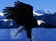 高清晰雄鹰展翅写真壁纸