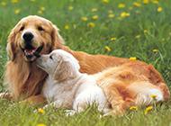 讨人喜欢的漂亮纯种金毛犬图片
