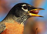 知更鸟吃东西的图片欣赏