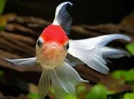 悠然戏水的金鱼特写摄影组图