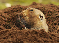 表情呆愣的草原鼢鼠图片