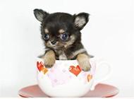最萌茶杯犬图片