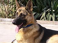 凶猛霸气的黑狼犬图片
