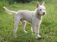 贵州下司犬防卫状态图片