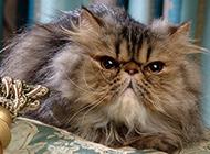 霸气纯种波斯猫高傲表情图片