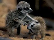 哺乳动物非洲猫鼬图片