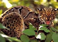 野生云猫表情凶猛图片