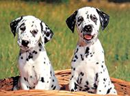 大麦町犬幼崽帅气可爱图片