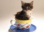 最萌茶杯猫图片壁纸大全