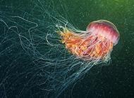 北极世界最大水母 色彩炫丽触须长达30米