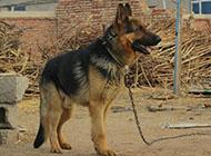黑背犬强健身体图片