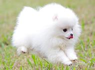 公园奔跑的白色博美犬图片