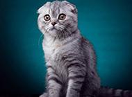 银虎斑折耳猫图片大全
