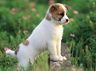 欢蹦乱跳的秋田犬幼犬图片