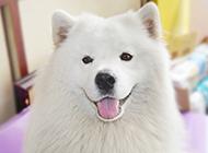 萨摩耶犬顽皮吐舌可爱图片