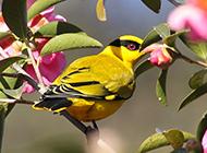 细嘴黄鹂鸟姿态优雅图片