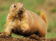 抓拍贪吃的小地鼠图片