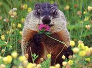 吃花的宠物土拨鼠图片