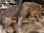 笼中的狮子王的活动
