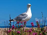自由翱翔海边的海鸥图片