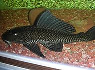 极易饲养的巨型清道夫鱼图片
