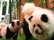 山寨版的熊猫